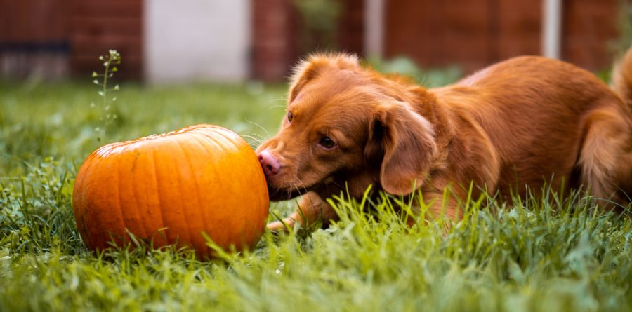 Trick-or-treat! Eastern counties set for flea and tick invasion over Halloween