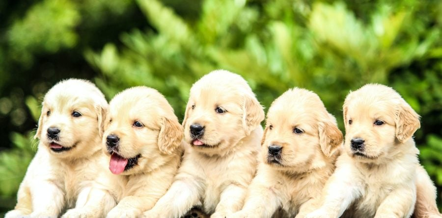 'Pandemic Puppies' study will explore how Covid-19 has affected puppy buying in UK